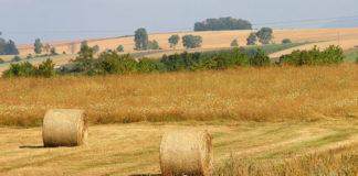 Ochrona zbóż ozimych przed chwastami